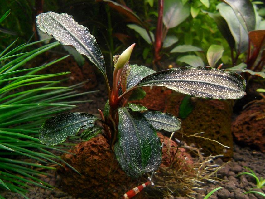 Картинки по запросу Bucephalandra sp. Central Cali