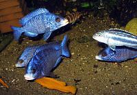 """Placidochromis phenochilus (Mdoka) var. """"White lips"""""""
