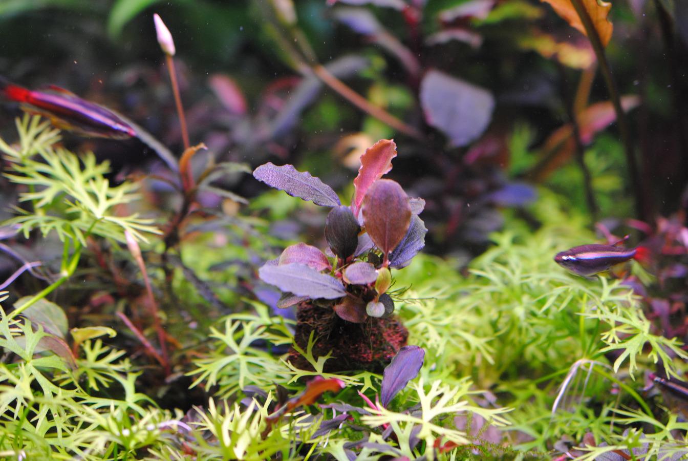 Картинки по запросу Bucephalandra sp. Brownie Pixy