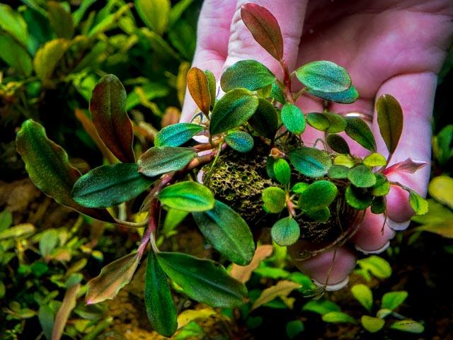 Картинки по запросу Bucephalandra sp. Lamandau Green