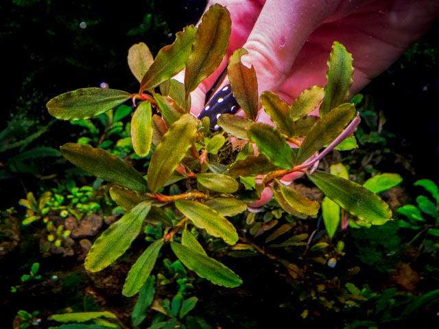 Картинки по запросу Bucephalandra sp. Rainbow Centipede