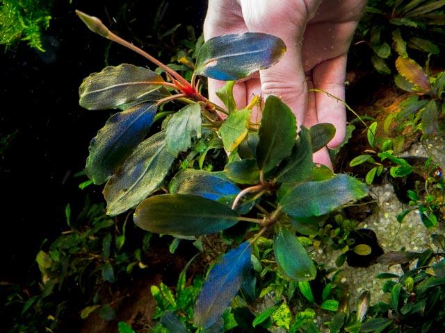 Картинки по запросу Bucephalandra sp. Aragon