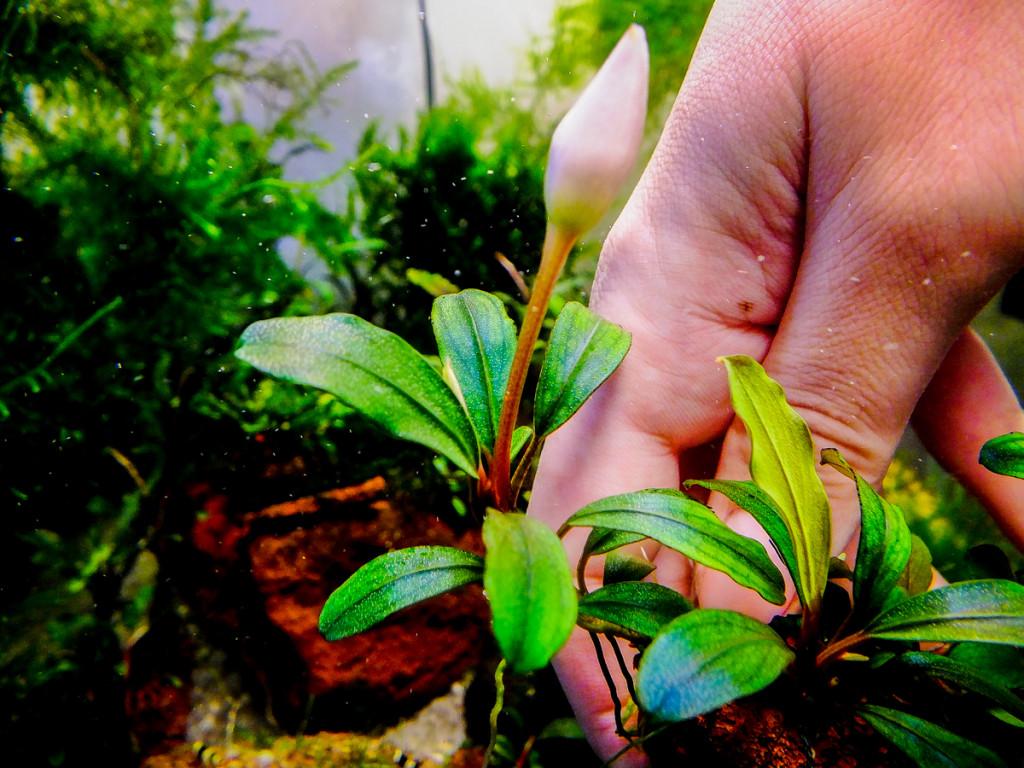 Картинки по запросу Bucephalandra sp. Apple leaf, Malinau-фото