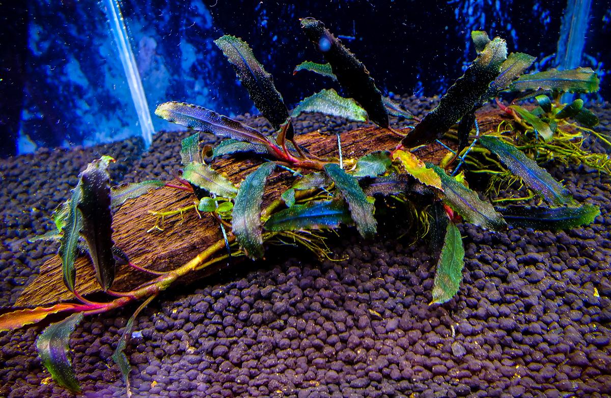 "Картинки по запросу Bucephalandra sp. Biblis ""Sky Blue"" aka Fino Mimosa"