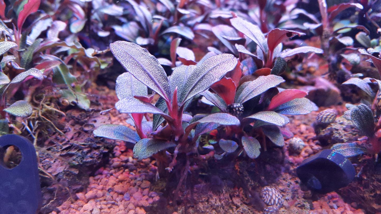 Картинки по запросу bucephalandra sp. brownie phantom