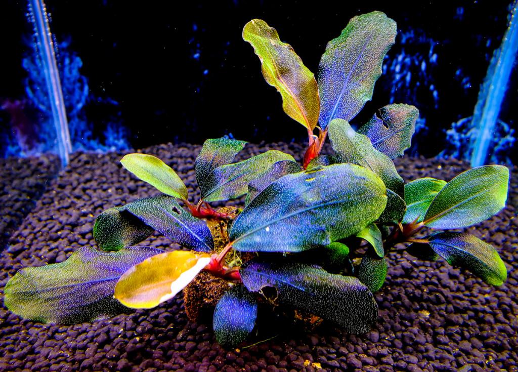 "Картинки по запросу Bucephalandra sp. Nanga Pinoh ""Lagoon"""
