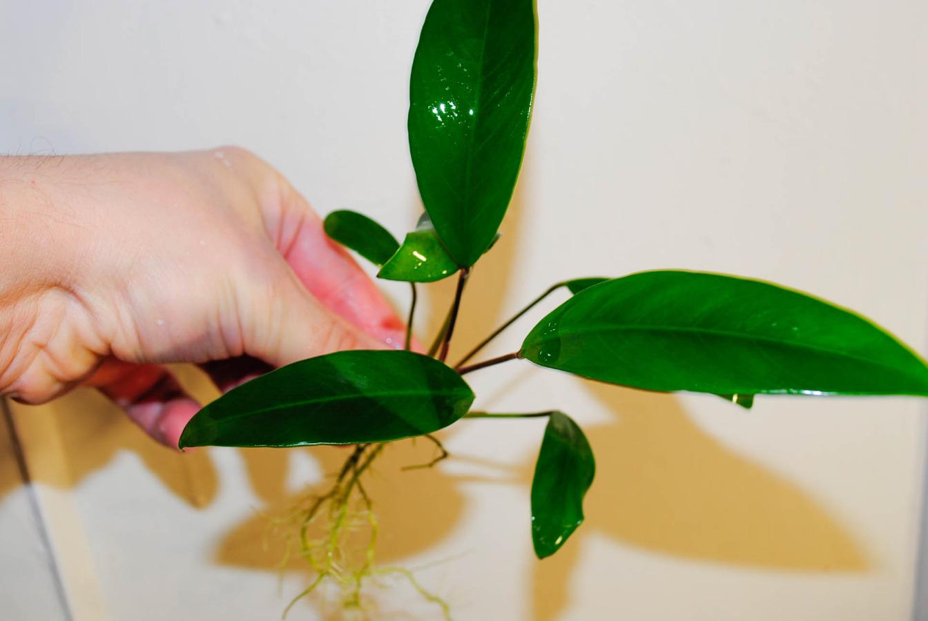 Цветок эпипремнум: фото и уход в домашних условиях. Эпипремнум золотистый, Эпипремнум марбл квин, Эпипремнум ауреум