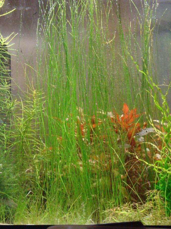 А�к�ион aquaforum 187 Си�няг игол��а��й eleocharis acicularis