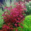 1470317224_ludwigia-palustris-super-red-4.jpg
