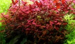 ludwigia-super-red_1-650x385.jpg