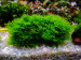 copy_18_Riccardia-chamedryfolia.jpg