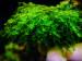 copy_912_copy_555_copy_842_copy_559_Callicostella-prabaktiana-moss-sp.-Sumater.jpg