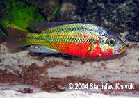 Haplochromis (Paralabidochromis) sp. Rock Kribensis CH22/Mwanza North