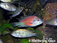 Haplochromis (Ptyochromis) sp. Hippo Point Salmon
