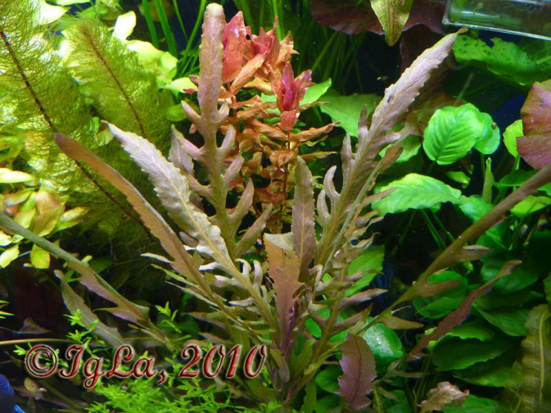 42 из 89 из альбома акваріумні рослини