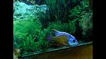Protomelas sp. 'steveni taiwan' (taiwan reef)