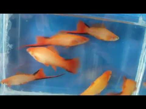 DSCF6941 - ��������� �������� ������ , ��� ������������ . Swordtail Marigold Comet(two-line)